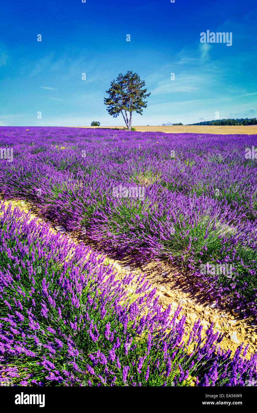 Lavender field in Provence, near Sault, France Stock Photo