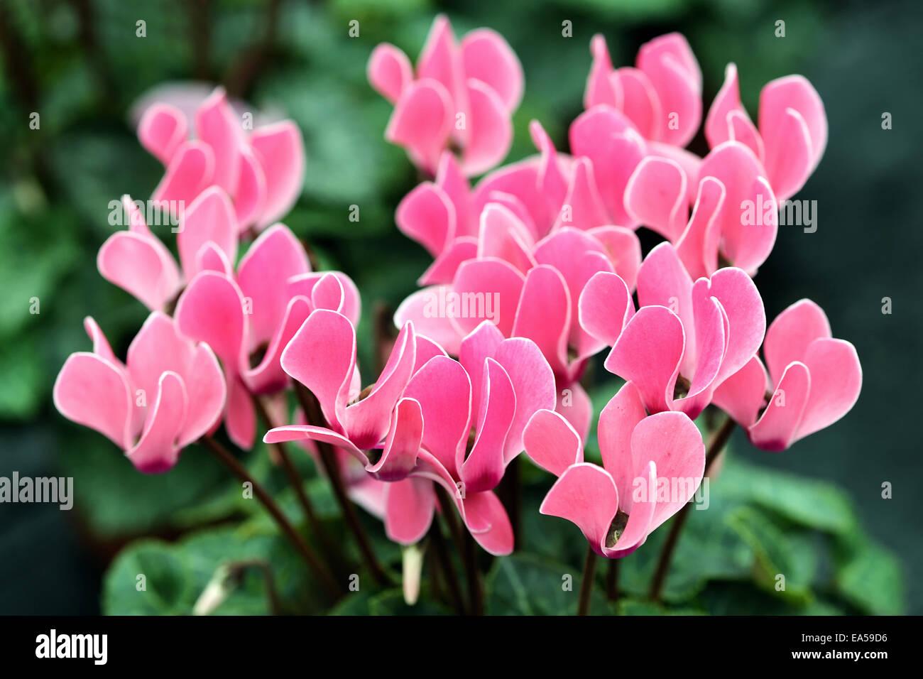 Pink cyclamen flowers - Stock Image