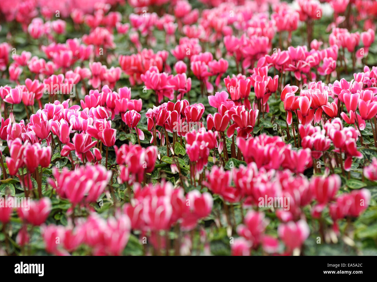 Background of colorful pink cyclamen flowers - Stock Image