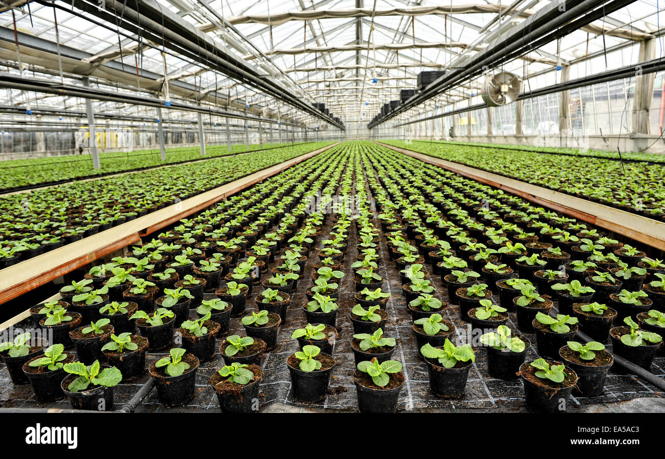 Interior of a commercial greenhouse - Stock Image