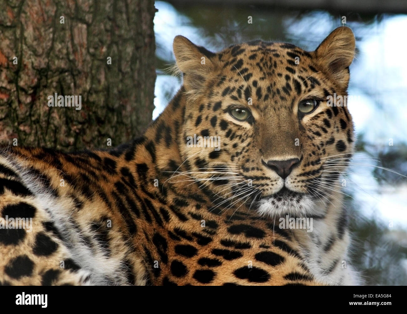 Female Amur Leopard (panthera pardus orientalis) Kaia at Marwell Wildlife, Hampshire, England - Stock Image