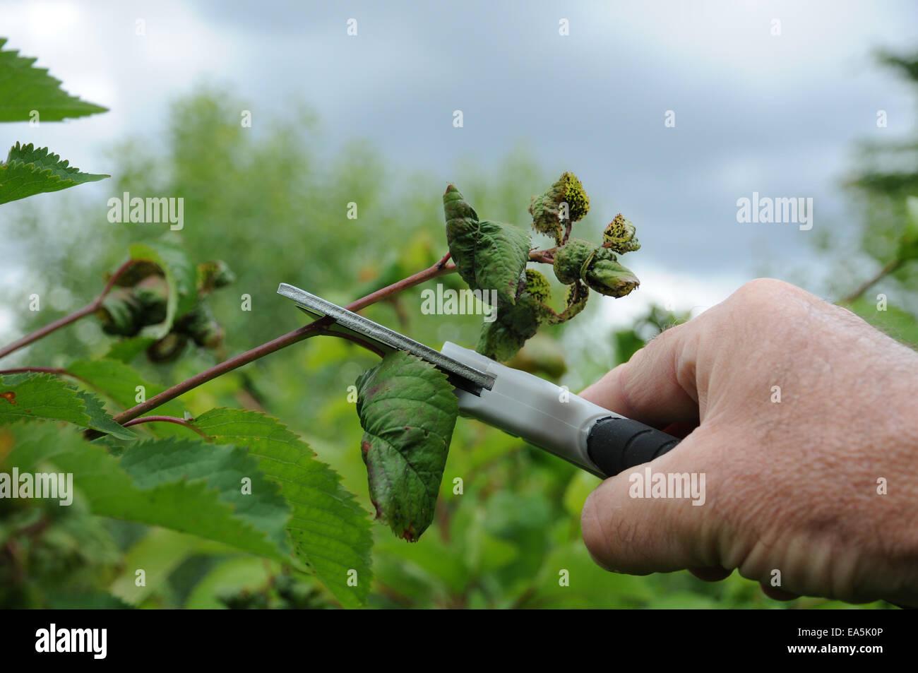 Sweet cherry pruning Stock Photo