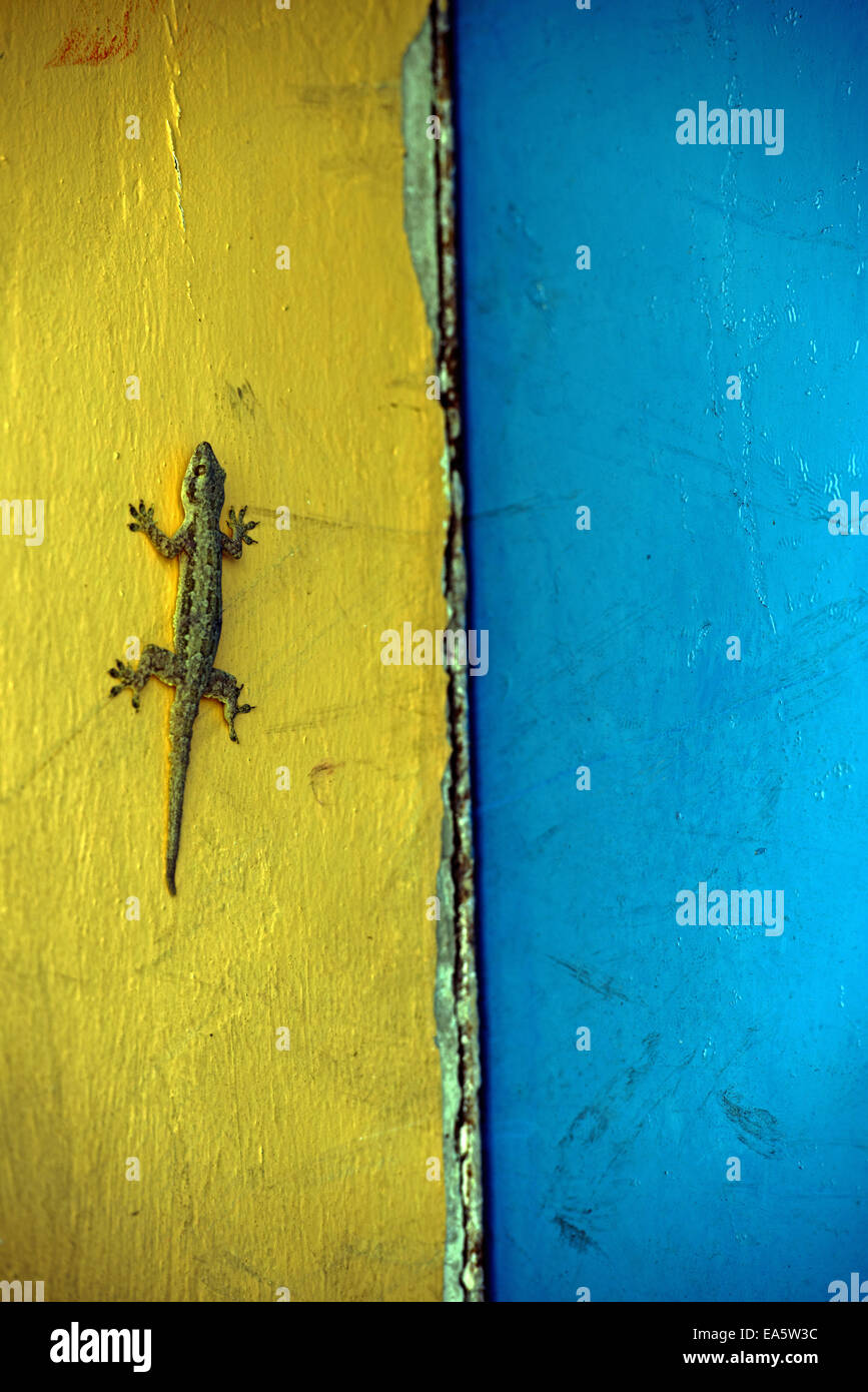Gecko sitting on a  two-tone facade - Stock Image