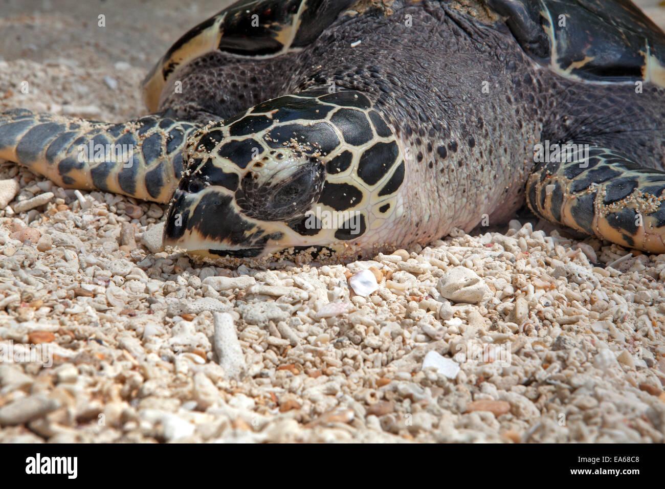 Green Sea Turtle, Chelonia mydas. Stock Photo