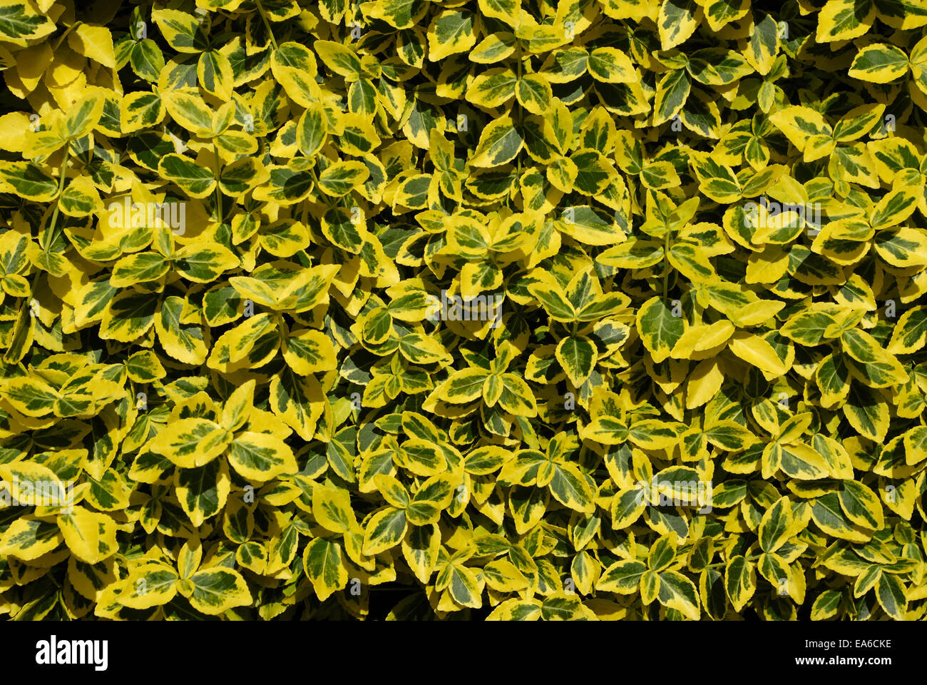 Euonymus fortunei Emerald n Gold - Stock Image