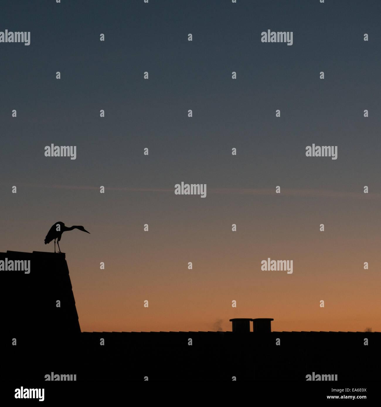 Germany, North Rhine-Westphalia, Dusseldorf, Bird at sunset - Stock Image