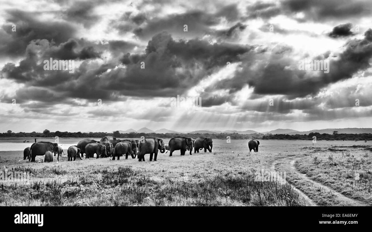 Sri Lanka, Galkulama, Elephants in Kaudulla National Park - Stock Image