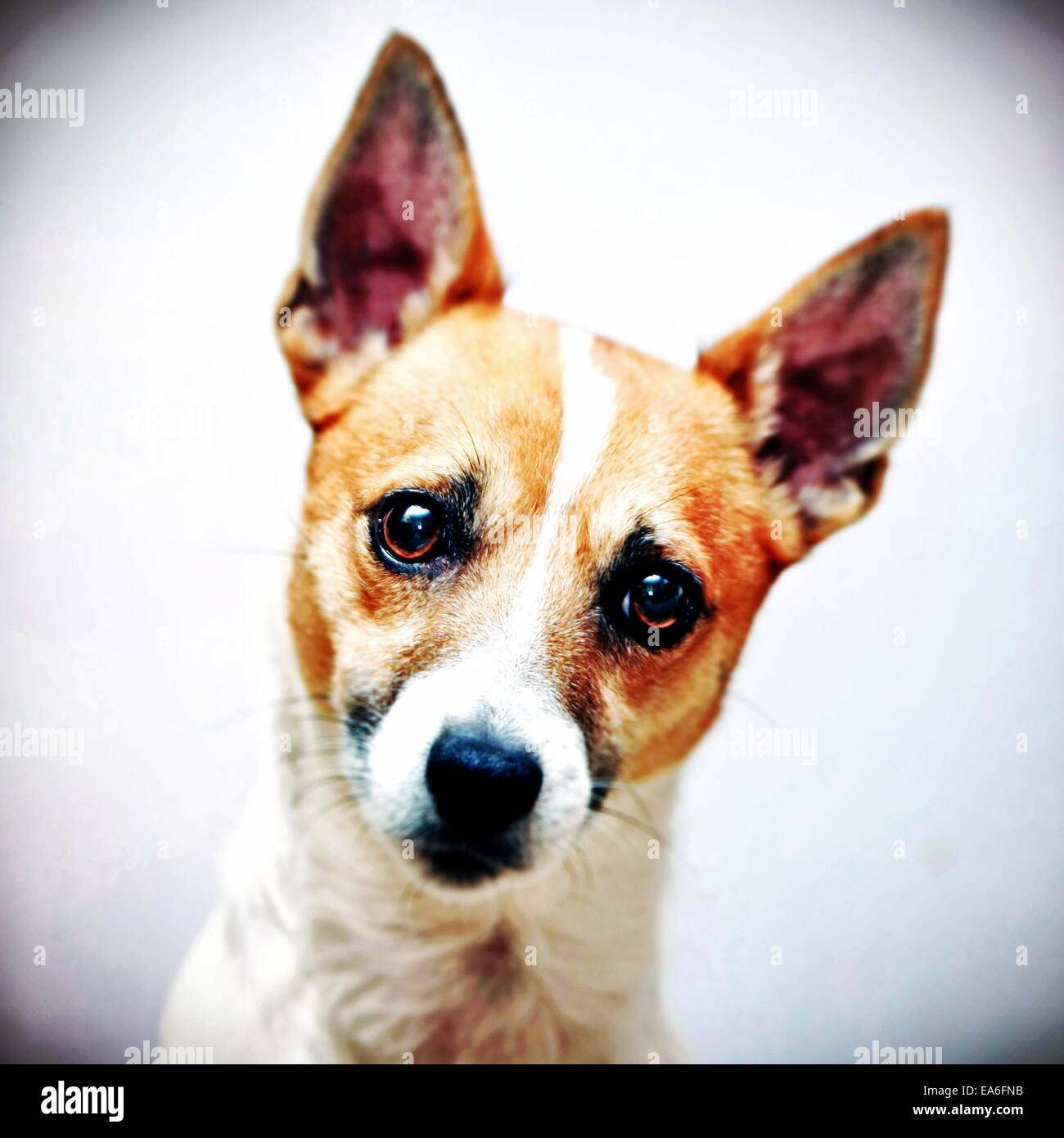 Jack Russell terrier dog head shot - Stock Image