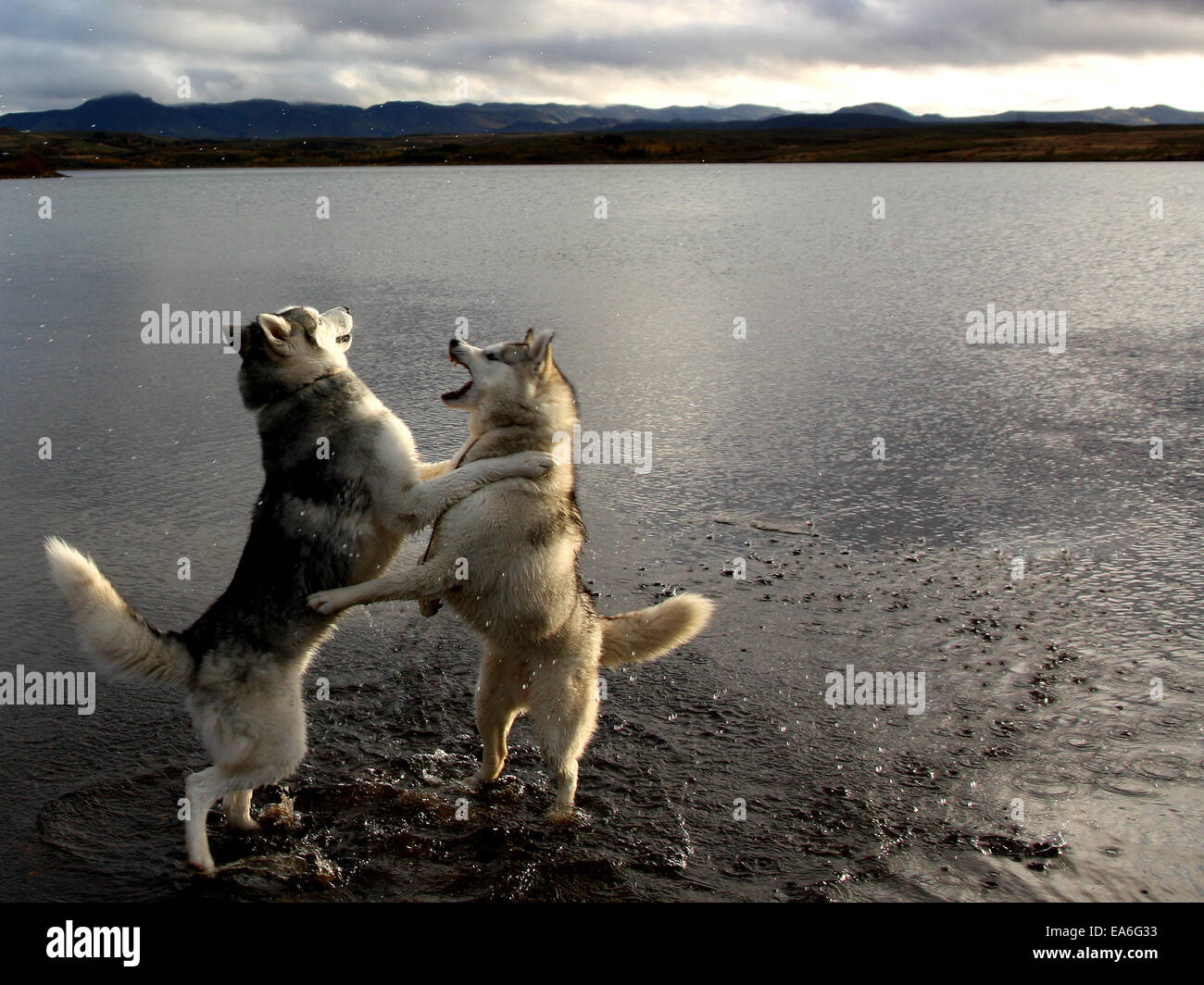 Iceland, Hafravatn, Husky dogs playing beside water - Stock Image