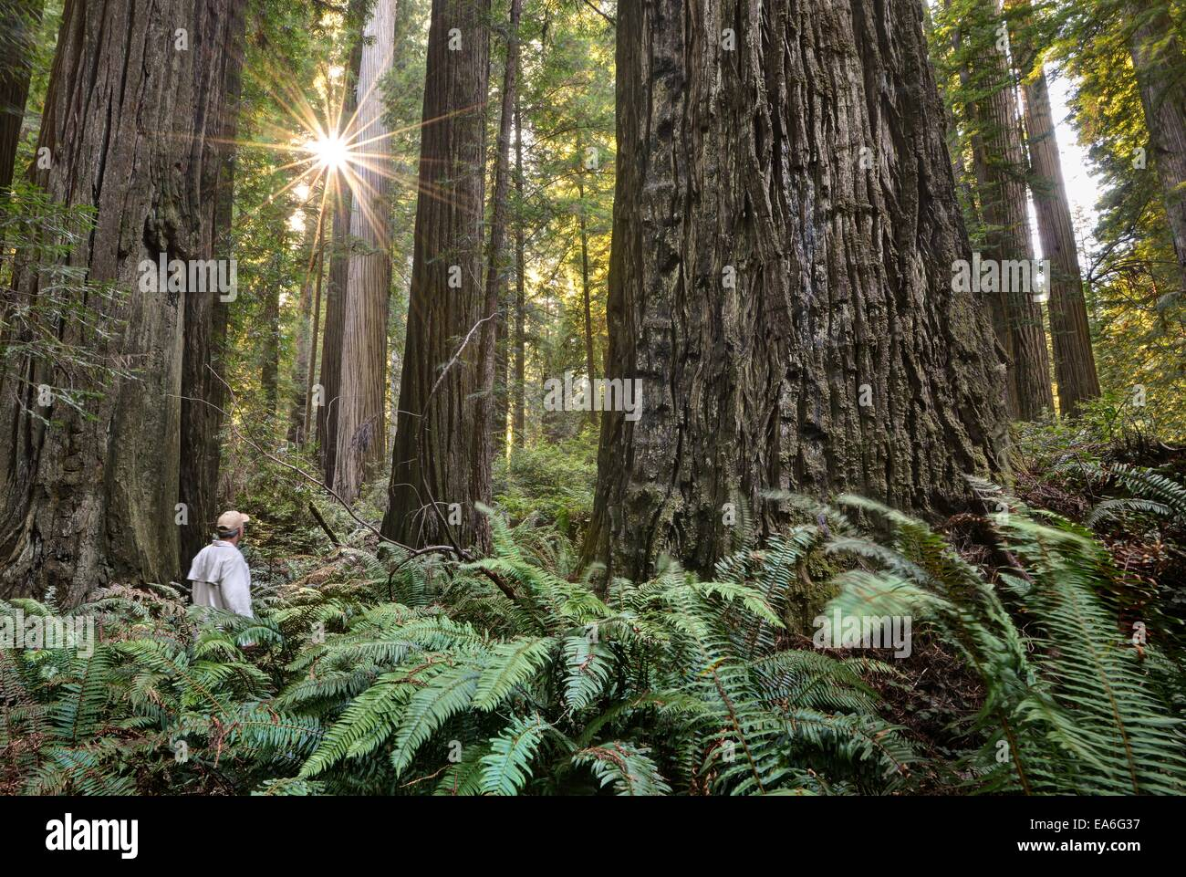 USA, California, Redwood National (and State) Park, Hiker Among Giant Redwood Trees - Stock Image