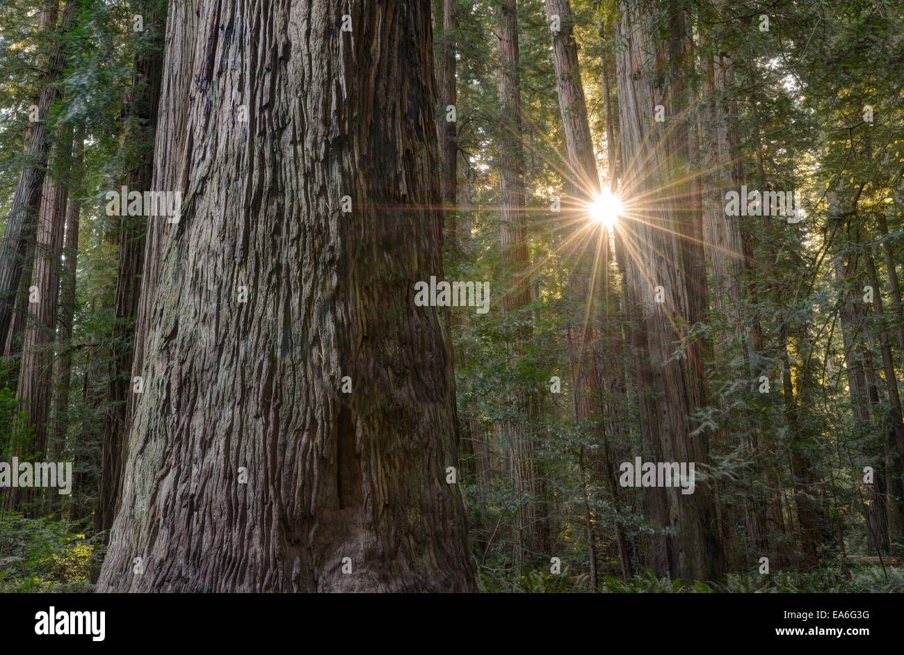 USA, California, Redwood National Park, Sunburst Through Redwood Trees in Stout Grove - Stock Image