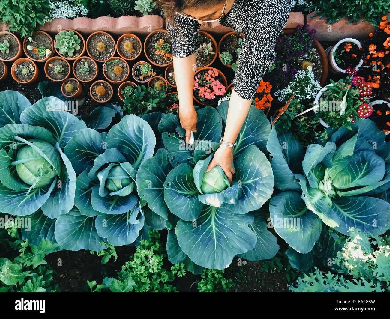 USA, California, Santa Clara County, Woman working in vegetable garden - Stock Image