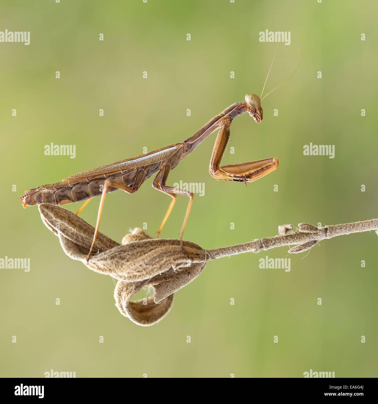 Macro shot of praying mantis Stock Photo