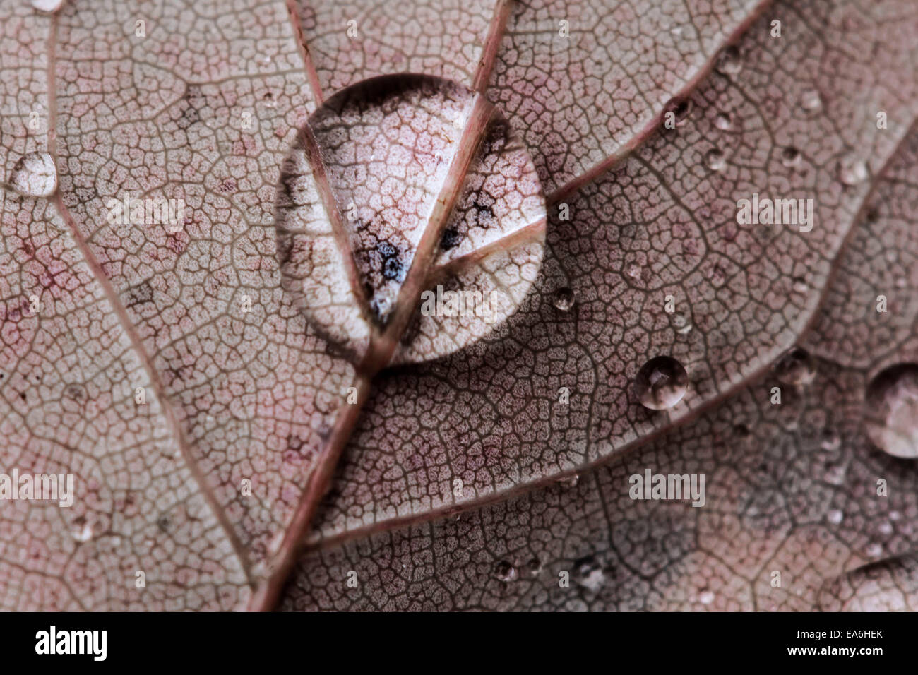 Rain drop on leaf - Stock Image