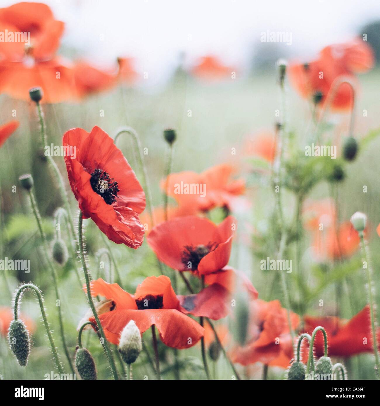 Close up of poppies in meadow - Stock Image