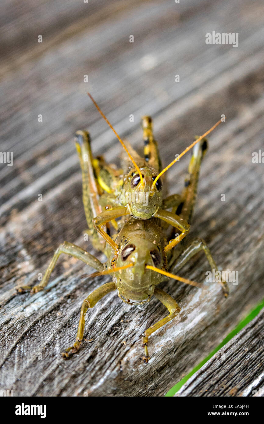 Close-up of grasshoppers - Stock Image