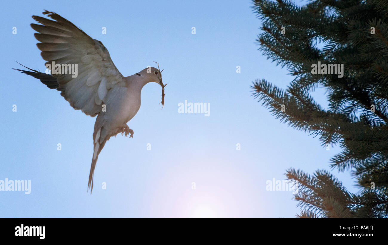 View of dove with twig in mouth - Stock Image