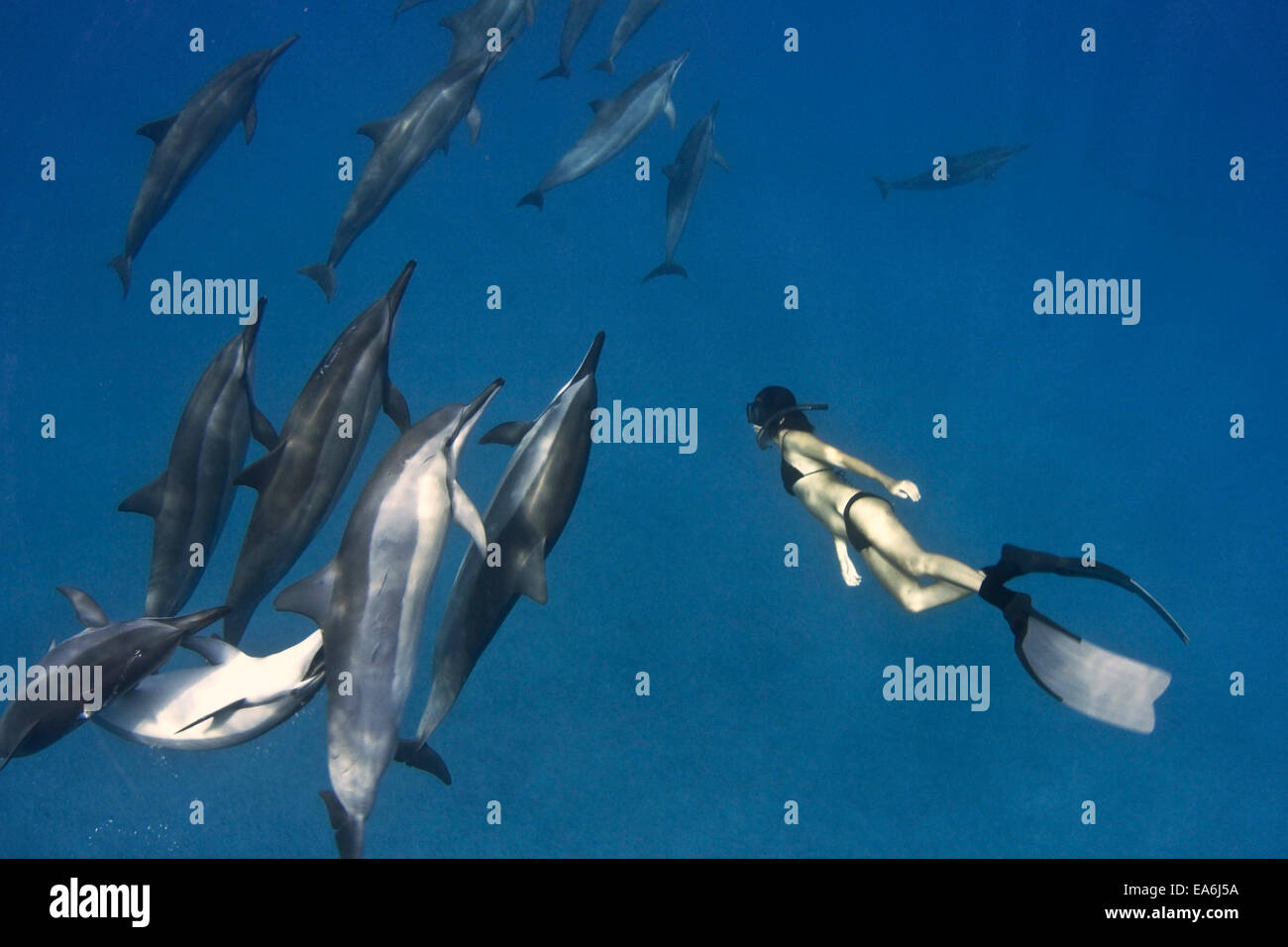 Woman free diving with spinner dolphins, Hawaii, America, USA - Stock Image
