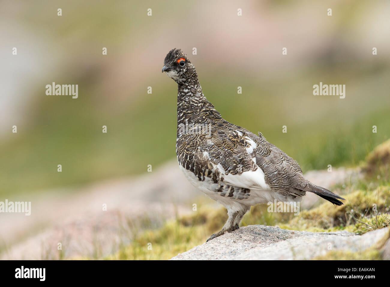 Ptarmigan (Lagopus mutus) adult male in summer plumage in upland habitat - Stock Image