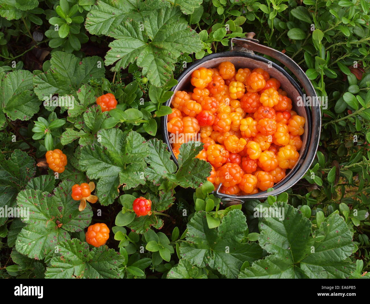 What is useful cloudberry (berry) 45
