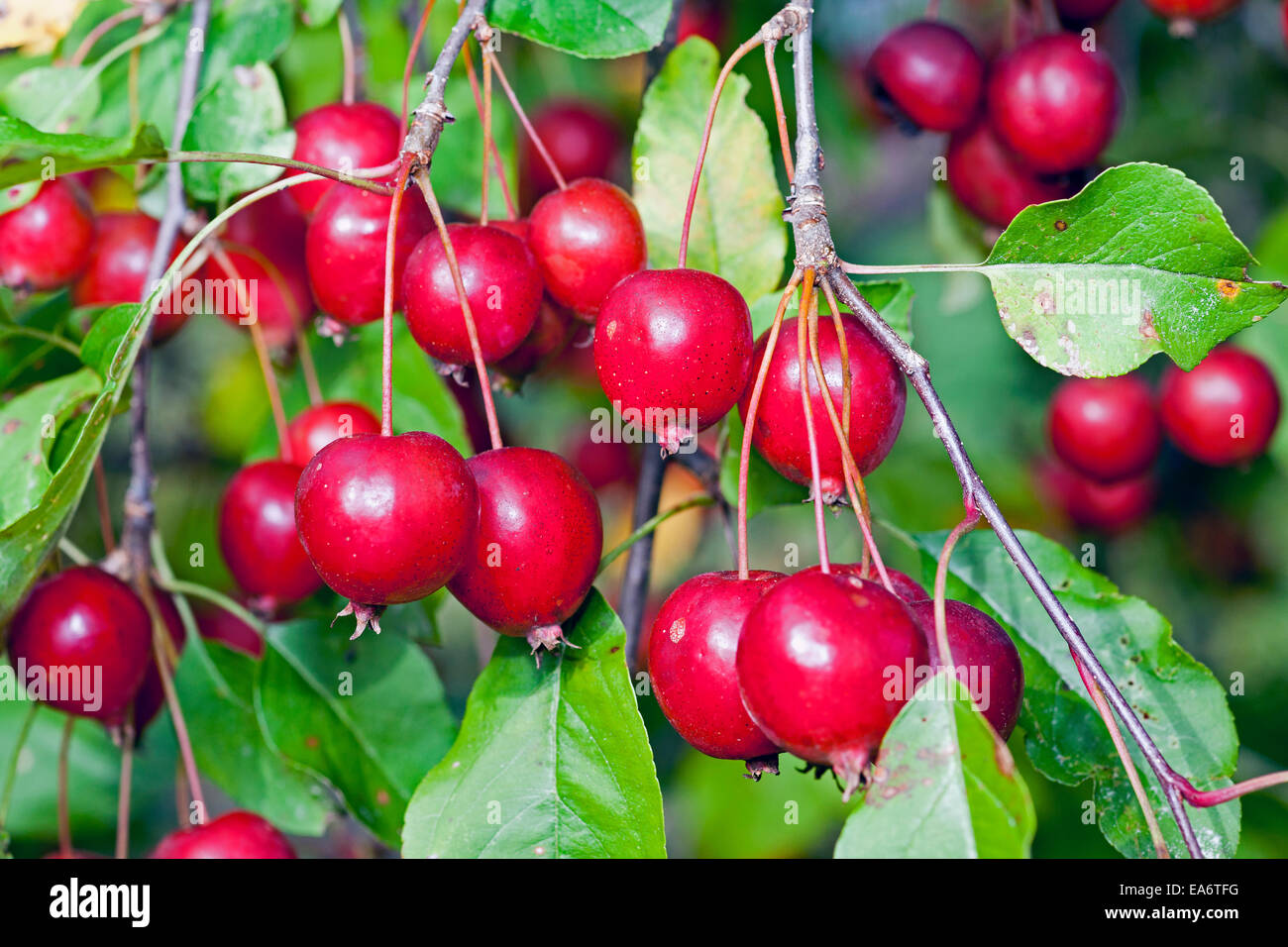 Closeup of a large cluster of red, ripe crab apples, family Malus. Stock Photo