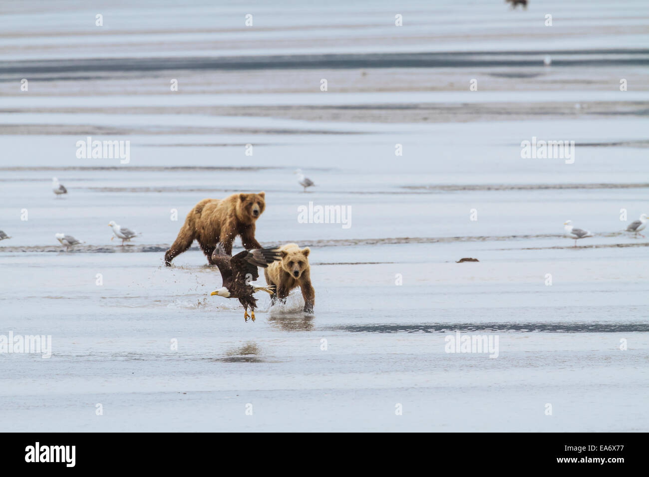 Sow,Cub,Chasing,Bald Eagle,Brown Bear - Stock Image
