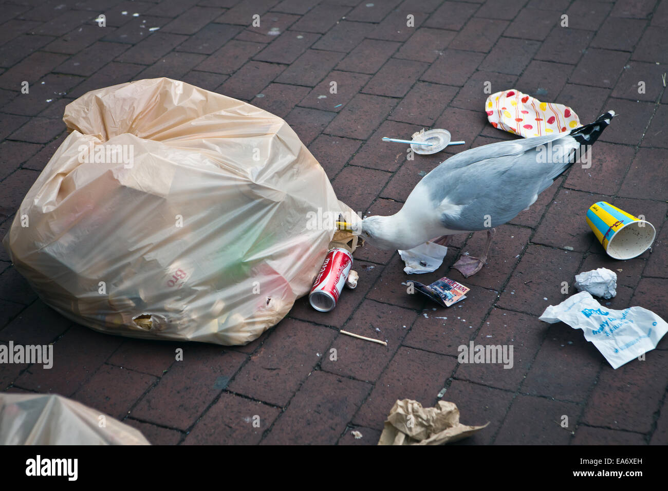 Seagull scavenging from rubbish bag - Stock Image