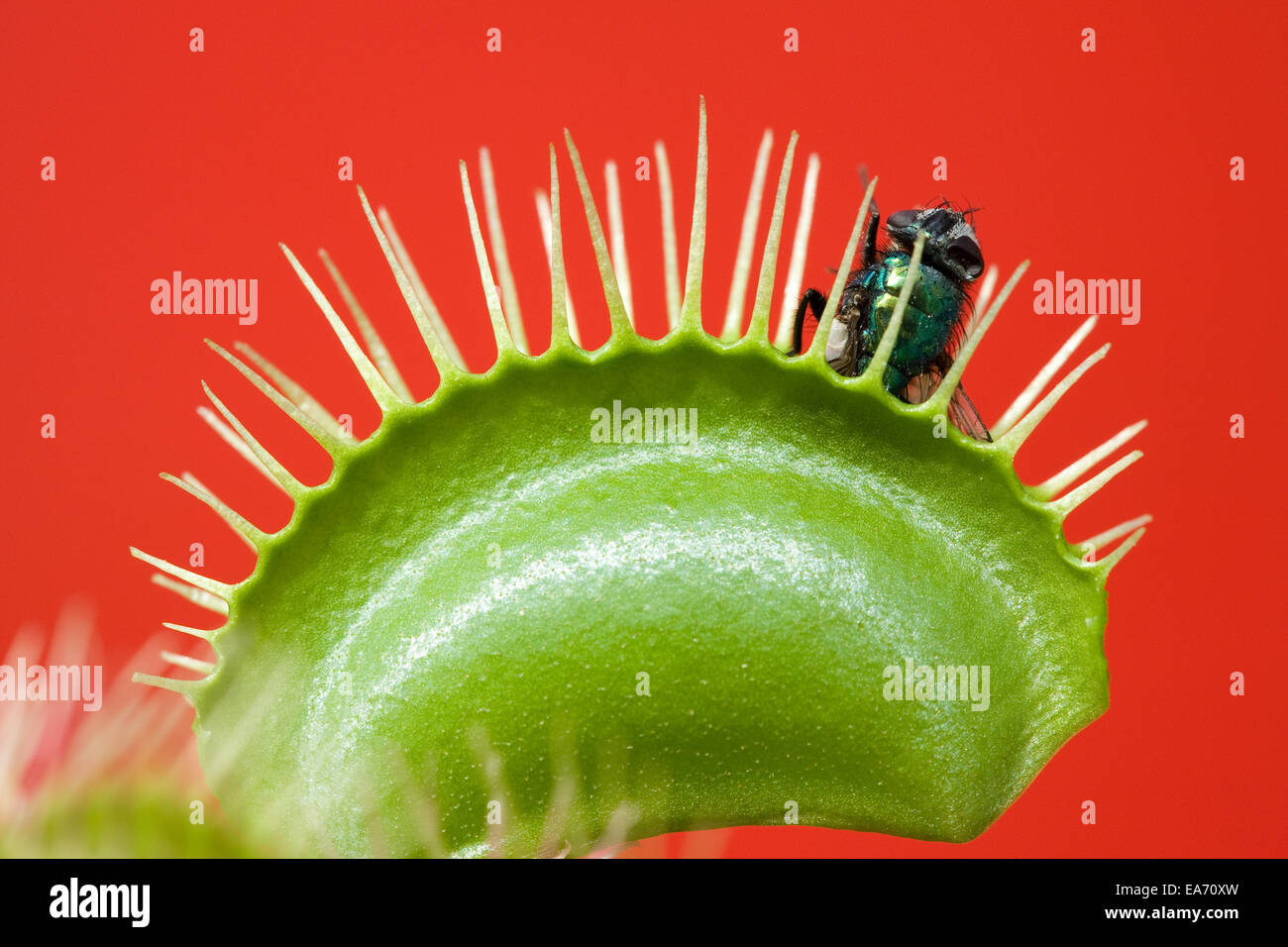 Venus Flytrap, with trapped housefly - Stock Image