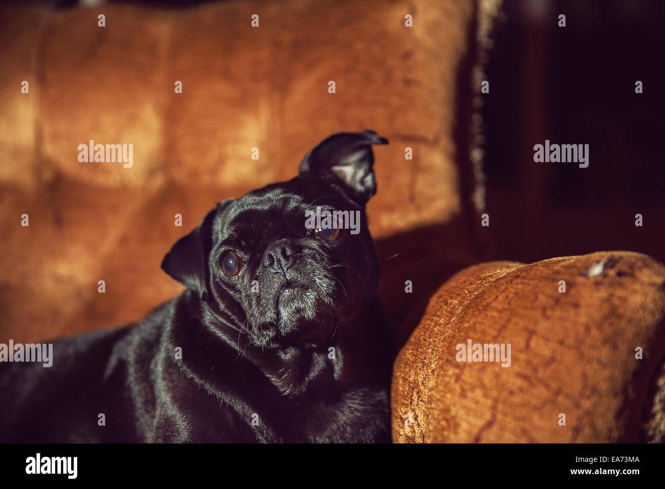 Pug on Chair - Stock Image