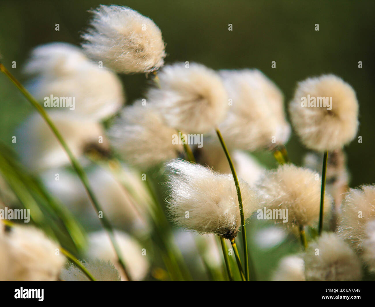 Back Lighted White Flowers Of Cotton Grass On A Alpine Meadow Flying