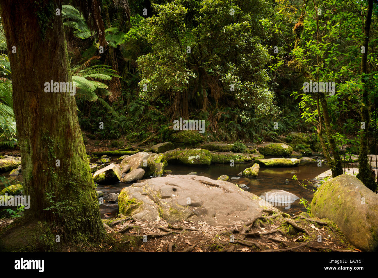 Forest in the Great Otways National Park along the Great Ocean Road, Australia - Stock Image