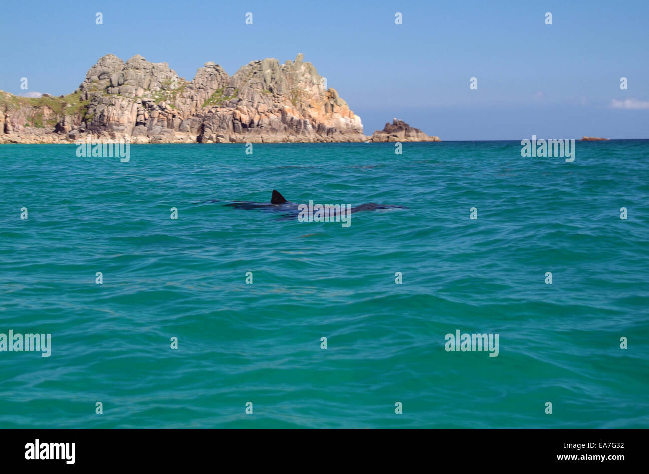 Basking Shark Cetorhinidae Cetorhinus maximus Porthcurno with Logans Rock in background Penwith West Cornwall South - Stock Image