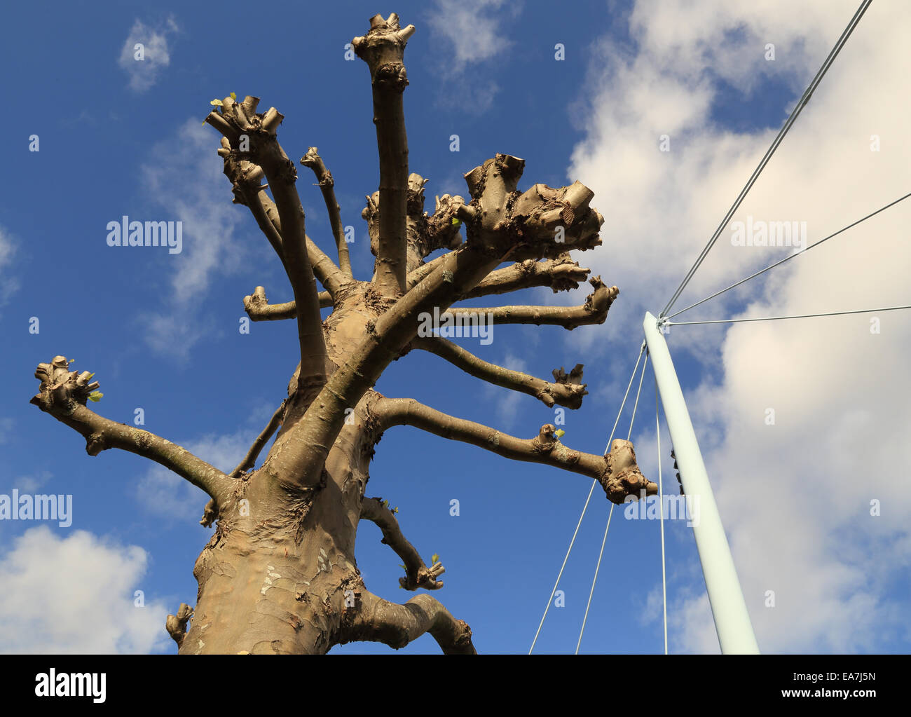 London Plane tree in Bristol, with the mast / wires of the Temple Quay suspension bridge over docks in Bristol's - Stock Image