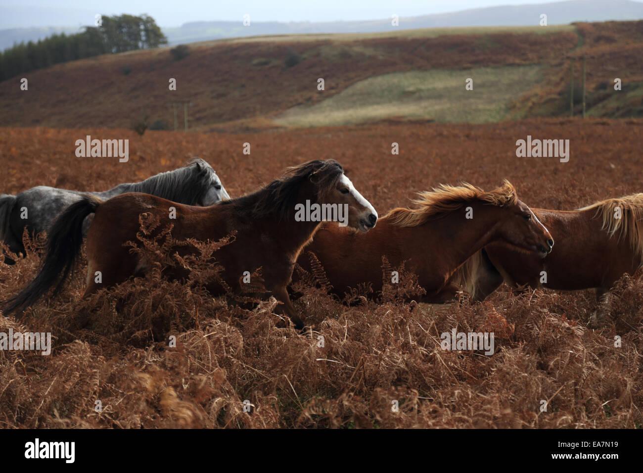 Wild Welsh ponies running in a herd across the Rhulen Hills near Builth Wells, Wales, UK - Stock Image