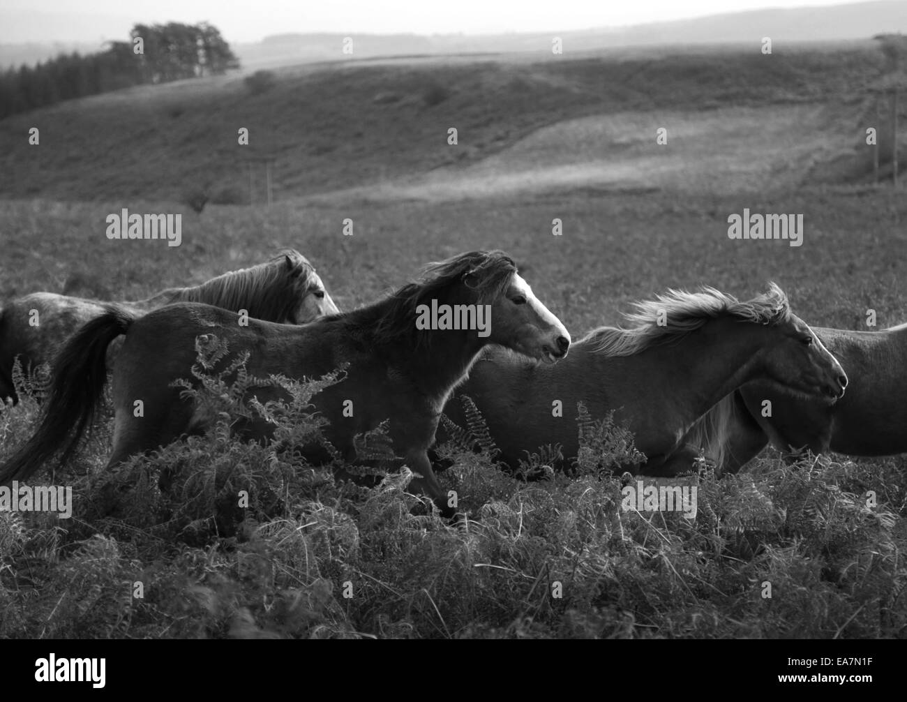 Wild Welsh ponies running on the Rhulen hills, near Builth Wells, Wales, UK - Stock Image