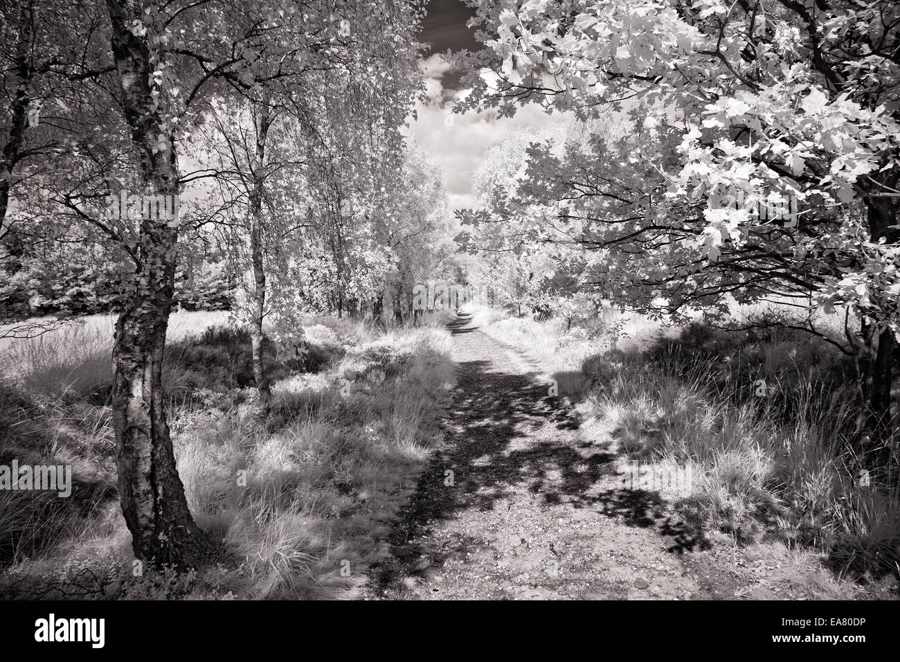 Black and white infrared image of a cannock chase landscape in an area of outstanding natural beauty staffordshire england