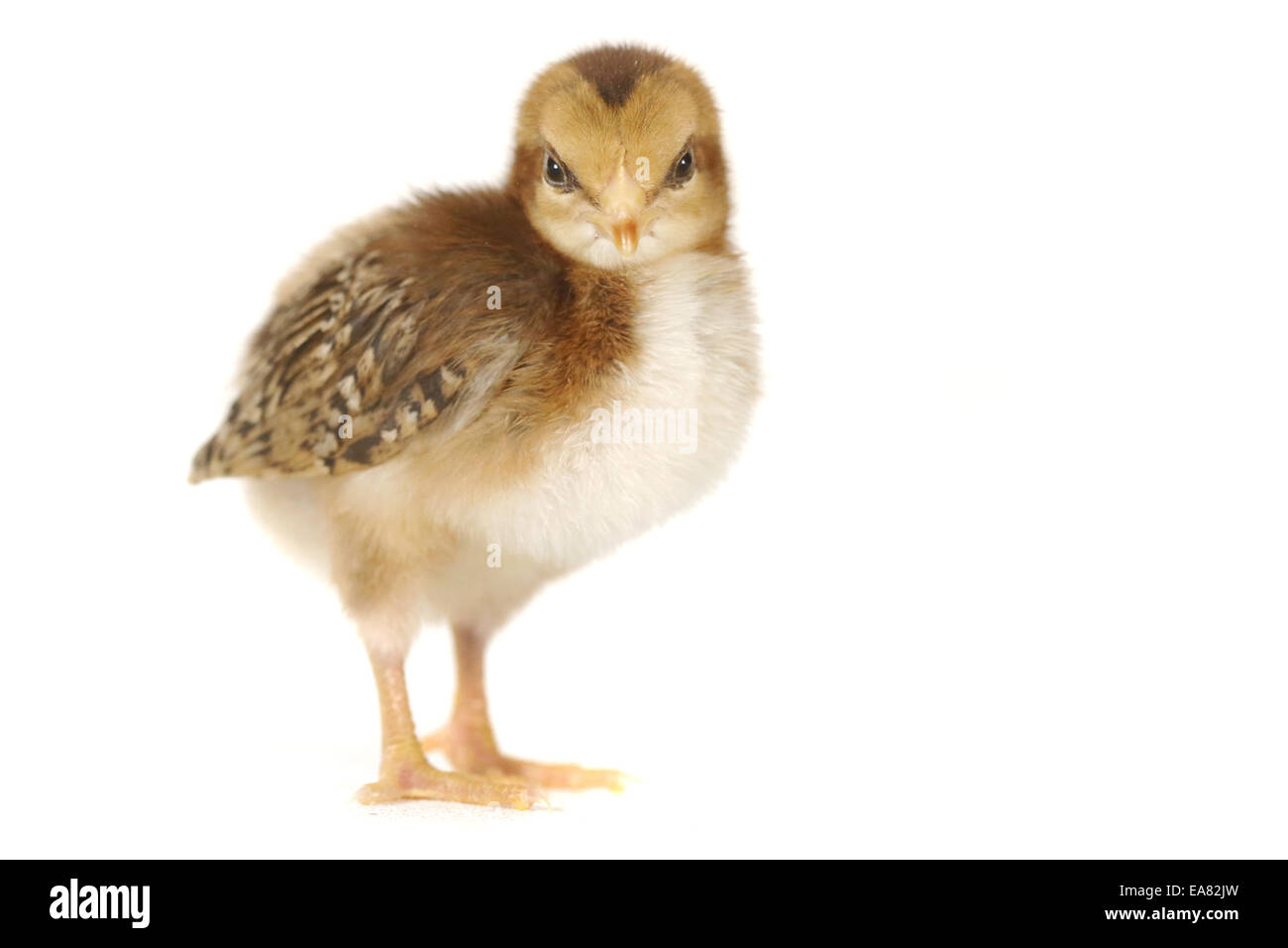 Cute Baby Chick Chicken on White Background - Stock Image