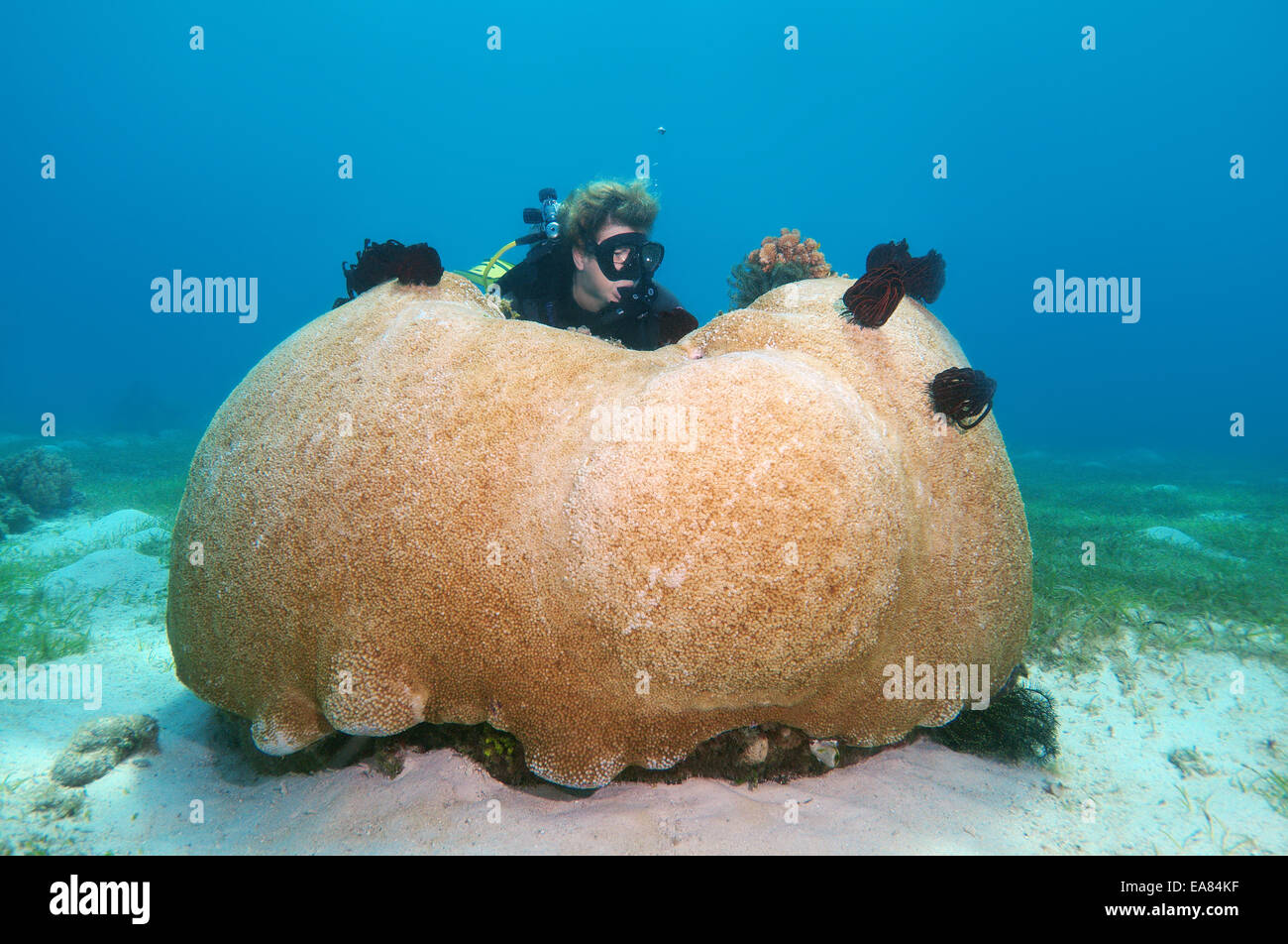Female scuba diver looking at a huge stony coral (Scleractinia) Bohol Sea, Philippines, Southeast Asia - Stock Image