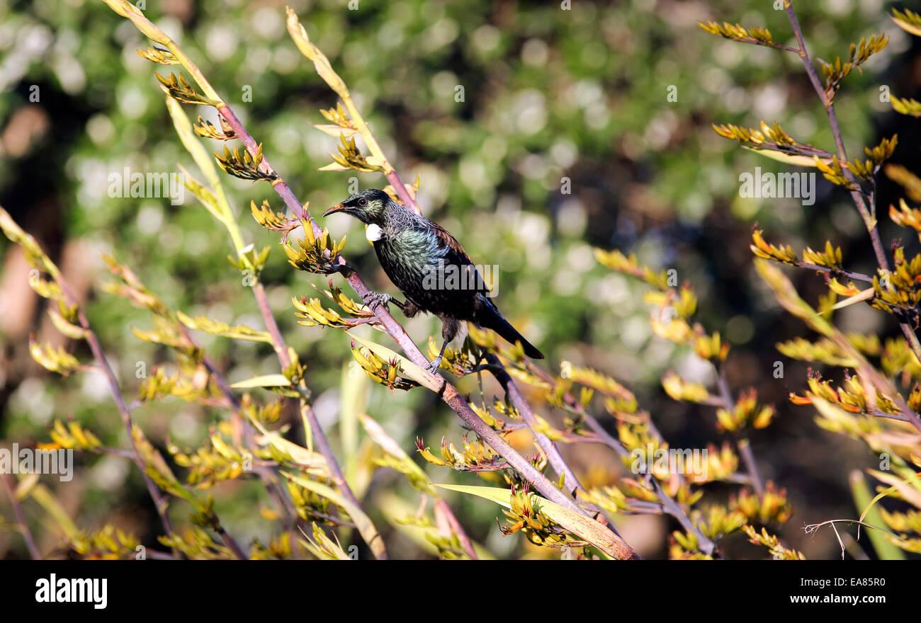 Tui bird feeding on New Zealand flax bush flower - Stock Image
