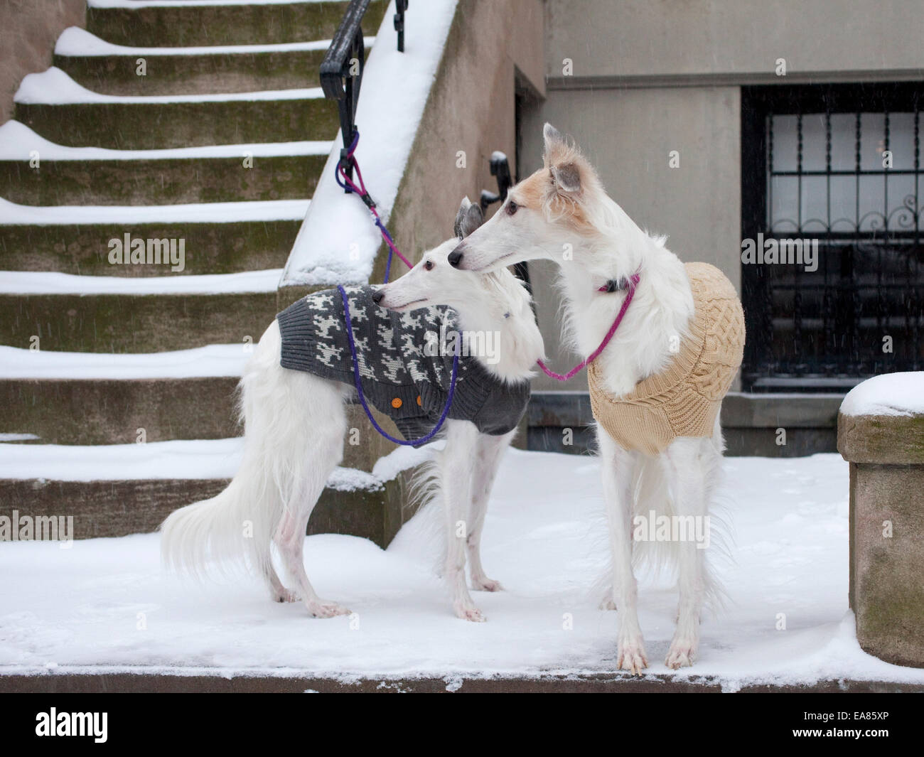 Dogs with leashes and sweaters on in snow - Stock Image