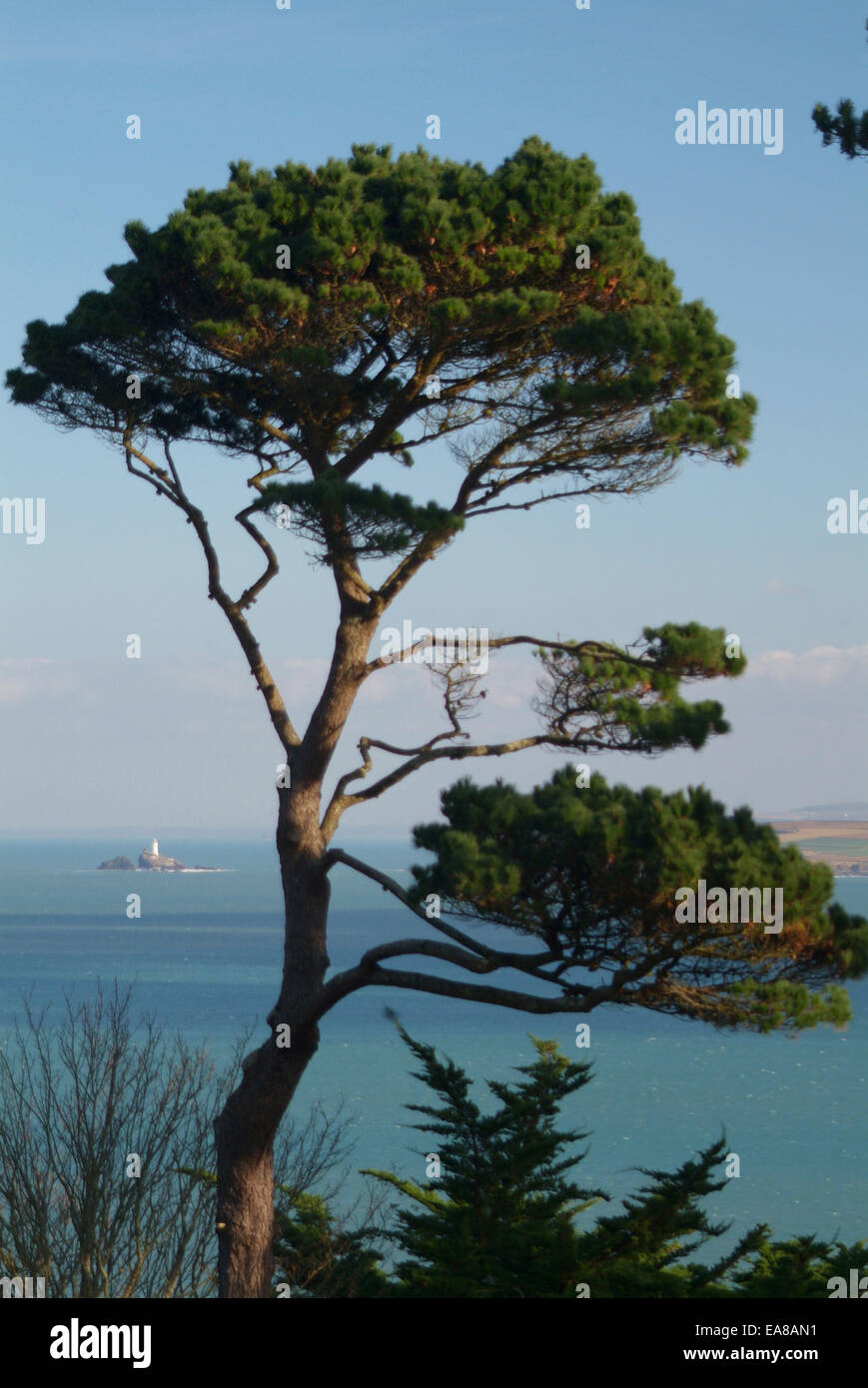 View from coast path past Monterey Pine tree across St Ives Bay to Godrevey Lighthouse Penwith West Cornwall South - Stock Image