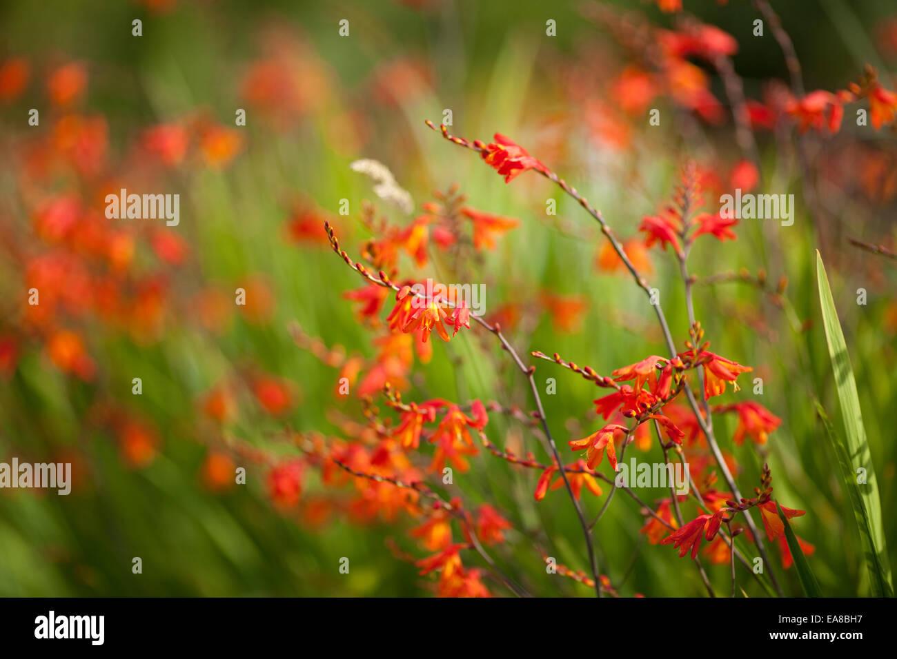 Crocosmia montbretia lucifer flowers with shallow depth of field crocosmia montbretia lucifer flowers with shallow depth of field orange flowers in the garden member of the iris family izmirmasajfo