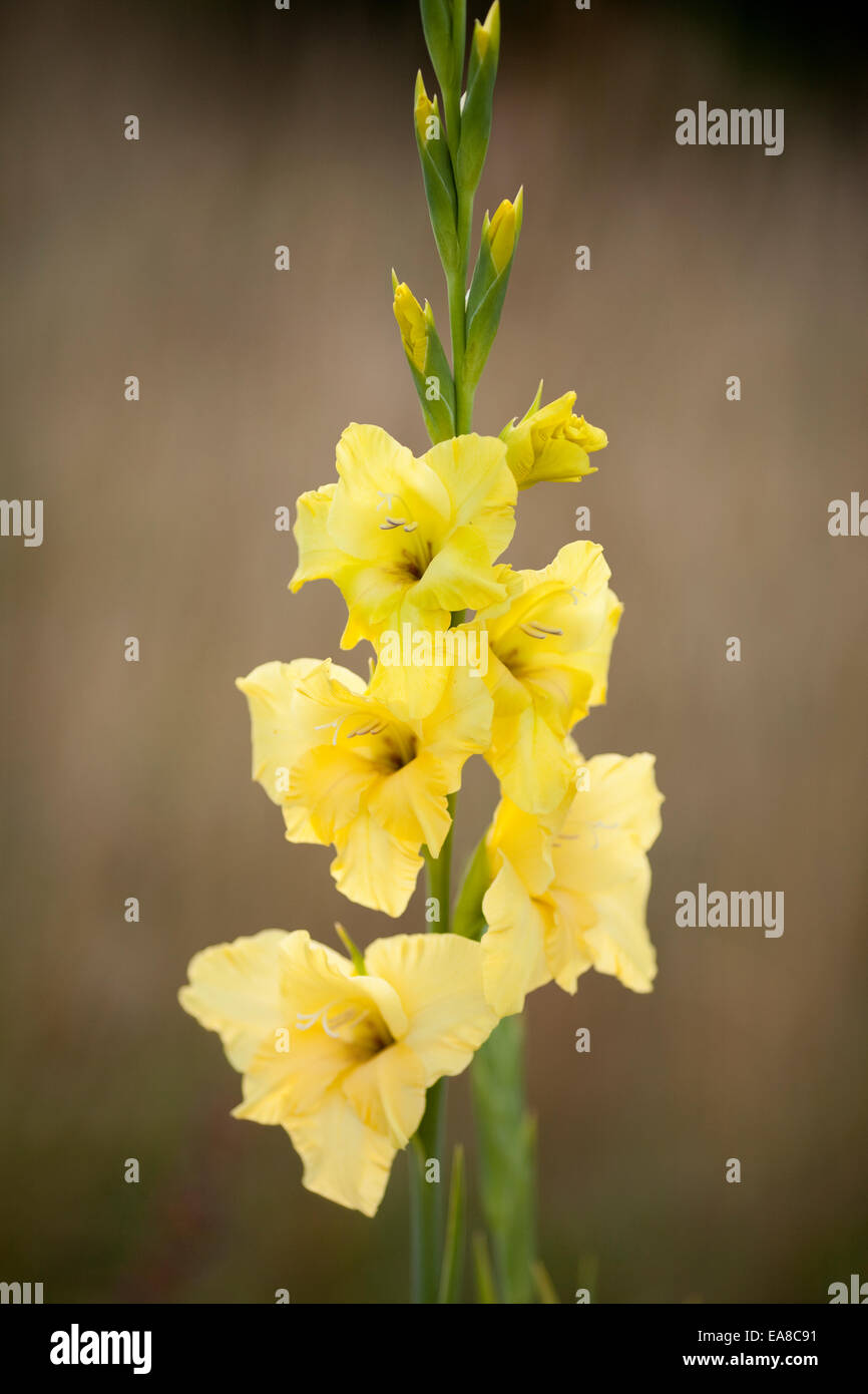 Tall yellow flower gladioli against muted background taken in stock tall yellow flower gladioli against muted background taken in vertical format it is growing in a garden in england uk mightylinksfo