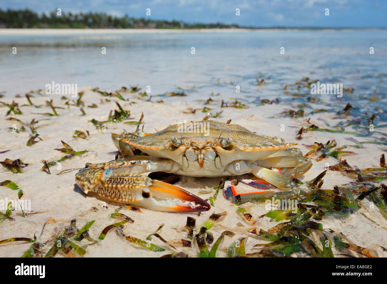 Large swimming crab on the beach, Zanzibar island - Stock Image