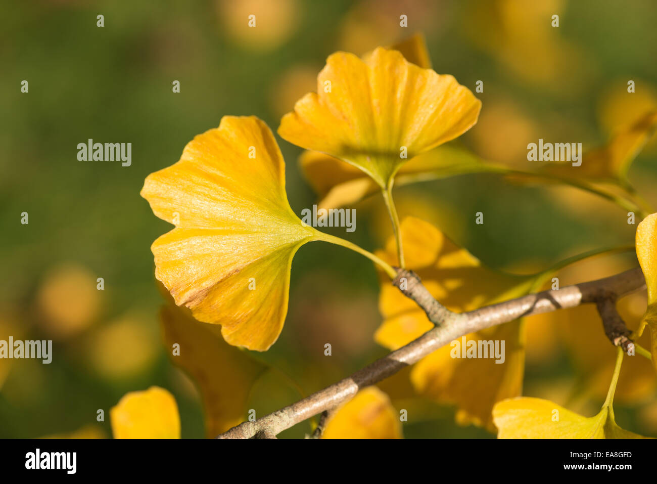 Bright Unique Yellow Leaves Of Ginkgo Biloba Tree In Autumn Look Like Stock Photo Alamy