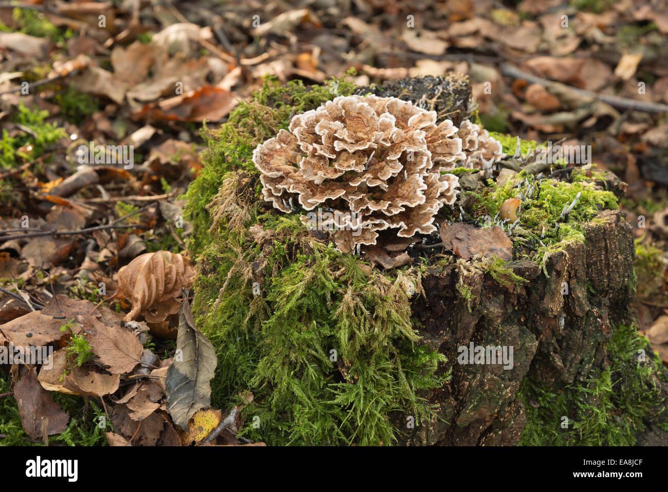 polypore bracket mushroom on top of rotting silver birch tree stump in autumn - Stock Image