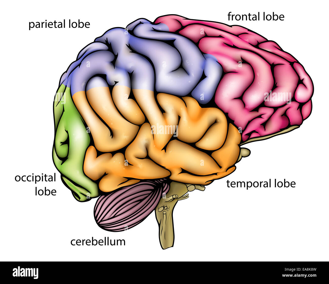 Brain Anatomy Diagram With Sectioned In Different Colours And Named