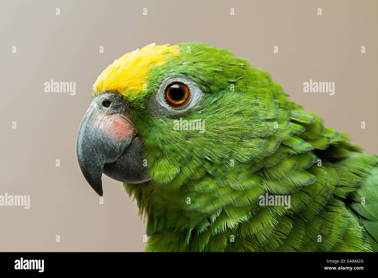 yellow crowned amazon parrot stock photos yellow crowned amazon
