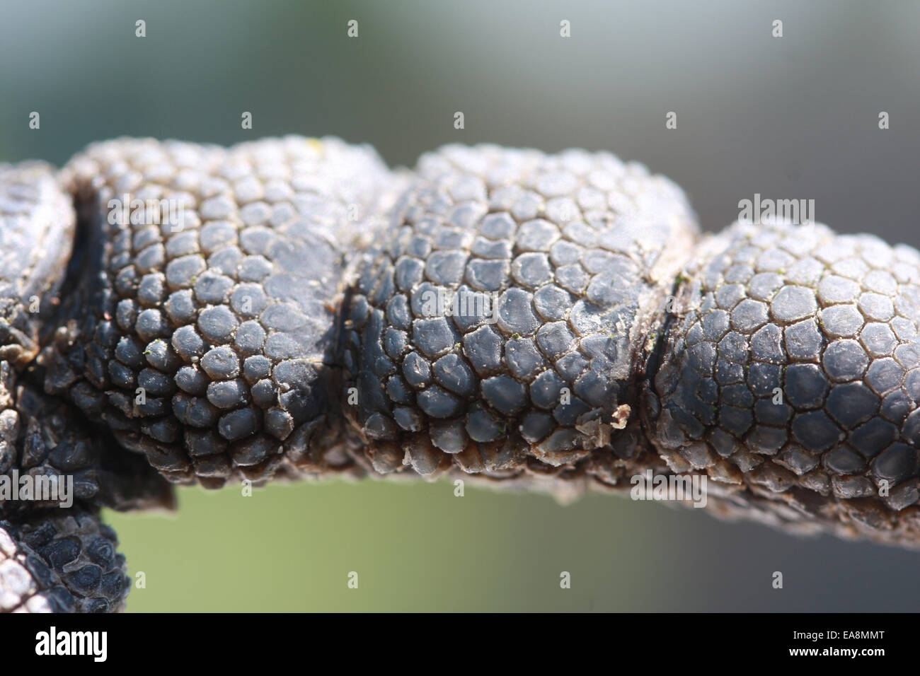 Macro of underside of a parrots foot - Stock Image