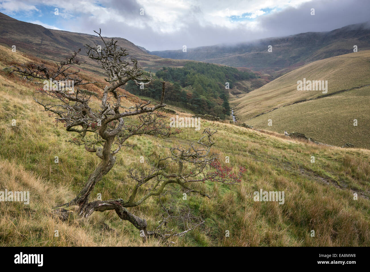 Peak District landscape around Kinder reservoir near Hayfield, Derbyshire. Twisted Hawthorn tree with berries. - Stock Image